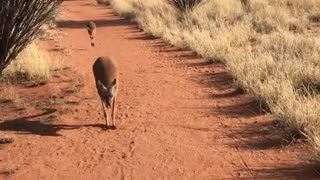 Walking with a Kangaroo and her Baby - Video