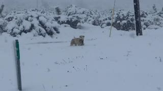 Dog Carries Puppy Through Deep Snow