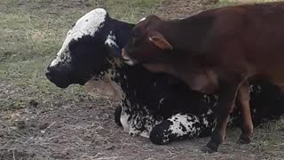 Sweet calf adorably plays with his mother's ear