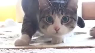 Cat dancing - Video