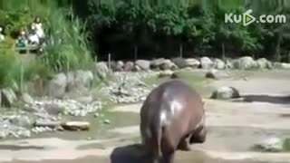 Funny Videos 2015 - Pate 2-Hippo ungainly - Video