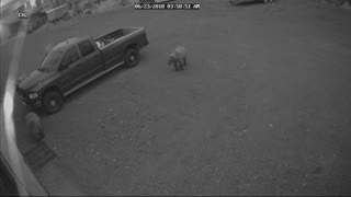 Bear-y Unexpected Visitors - Video