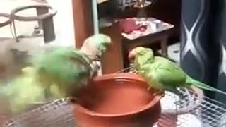 Cute parrots taking bath  - Video