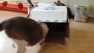Cat Hiding Inside A Box Waiting to be Found - Video