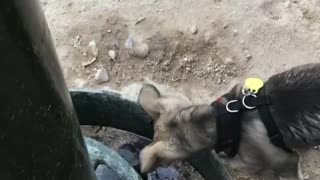 Dogs Drinking Water In Their Way - Video