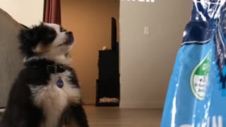 Impatient puppy struggles to sit for treats