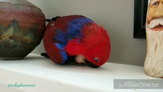 Parrot confuses toy for egg, instinctively sits on it