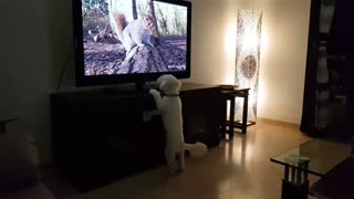This Curious Pup Loves Watching Other Animals On TV - Video