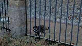 Cat Takes Fence Line to Avoid Mingling with Neighbor