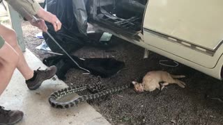 Python Kills Cat - Video