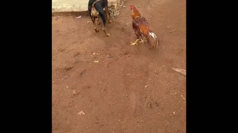 Crazy chicken never give up attitude