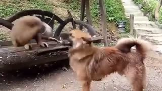 Dog vs Monkey - Video