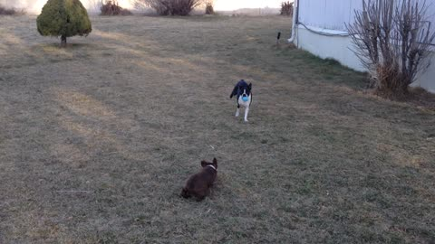 Beefy the Boston Terrier doesn't play fetch