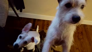 Terriers worried about dinner - Video