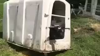 Cow Takes Enclosure for a Walk