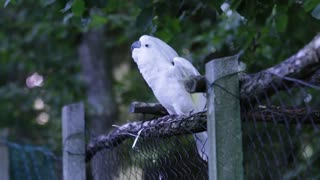 Dancing White Parrot.With beautiful music