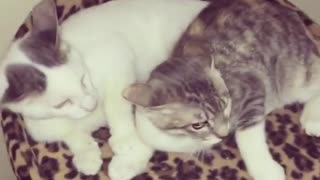 Cat is Protecting His Wife From a Bad Dogy
