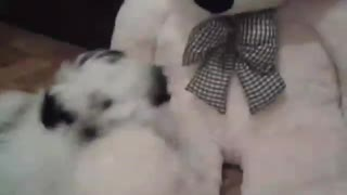 Little Shih Tzu play with Toy Bear - Video