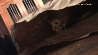 Cat hiding in chipotle bag - Video