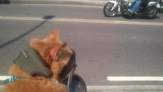 Cat Loves Riding Shotgun on Motorcycle - Video