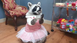 Raccoon wearing a ballerina skirt rubs his paws for treats