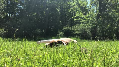 Pitbull rolling in the field on a gorgeous summer morning