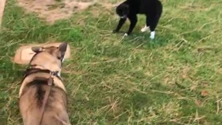Husky scared of black cat  - Video