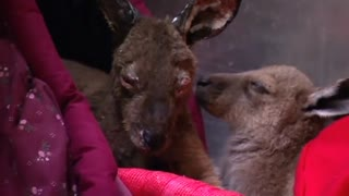 Kangaroo joeys are treated for bushfire burns in Australia - Video