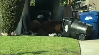 Bears by School Playground - Video