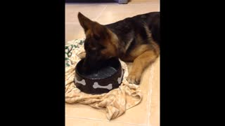 German Shepherd Puppy Dog drinking flavored water - Video