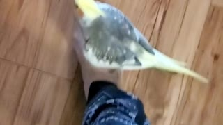 Singing cockatiel goes for a ride on top of owner's foot