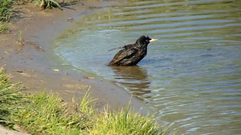 Starling washes in the river