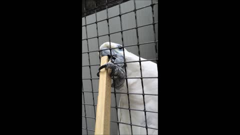 Cocky cockatoo tries to steal stick from visitor at bird shelter