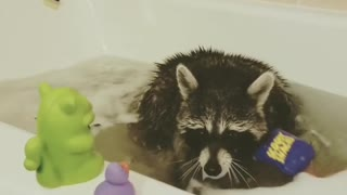 Raccoon plays in the tub with his rubber duckies