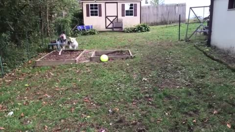 Happy Great Dane Love to Running With Dog Friends