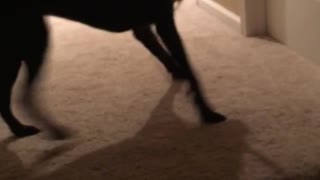 Black dog tries to bring in huge stick upstairs - Video
