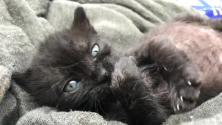 Cat Kitten Young Playing Cute Feline Fur Small - Video