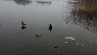 Duck on ice - Video