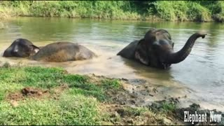 3 Elephants in The lake Swim