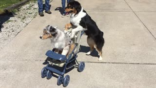 Dog Pushes Another Dog In A Baby Stroller Around A Park - Video