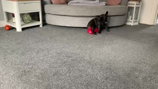 Funny French Bulldog getting dizzy with her best friend Rexy