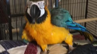 Charley blue and gold macaw parrot enjoying a spray bath  - Video