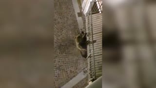 Acrobatic Wild Bear Drops Down From Balcony In Italy