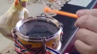 parrot knocking on the drum - Video