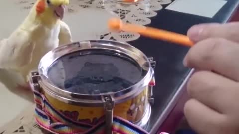 parrot knocking on the drum