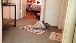 Chihuahua Puppy Destroys Newspaper - Video