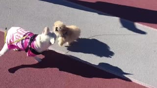 Poodle puppy plays with French Bulldog