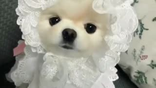 my little cute dog look like a princes in clothes - Video