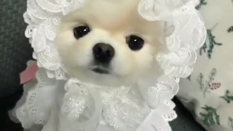 my little cute dog look like a princes in clothes