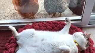 Cat sleep and watch chickens - Video